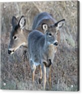 Mother And Young Acrylic Print