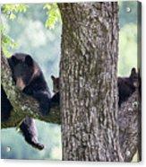 Mother Bear And Cubs Acrylic Print
