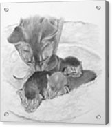 Mother Cat Washing Kittens Acrylic Print