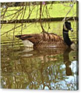 Mother Goose Acrylic Print by Laura Brightwood