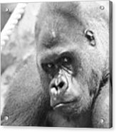 Mother Gorilla In Thought Acrylic Print