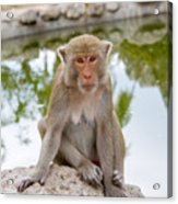 Mother Monkey Acrylic Print