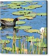 Mother Moorhen Acrylic Print