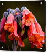 Mother Of Thousands Acrylic Print