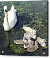 Mother Swan And Baby Cygnets Acrylic Print