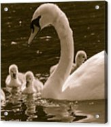Mother Swan Acrylic Print