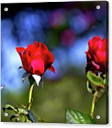 Mother's Day Roses Blank Acrylic Print