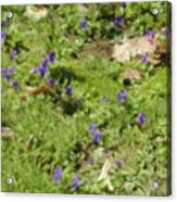 Mother's Violets Acrylic Print