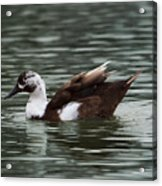 Mottled Brown Duck Acrylic Print