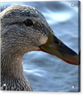 Mottled Duck Big Spring Park Crop Acrylic Print