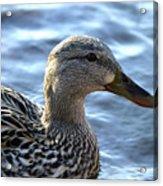 Mottled Duck Big Spring Park Acrylic Print