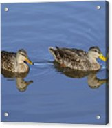 Mottled Ducks, South Padre Island, Texas Acrylic Print
