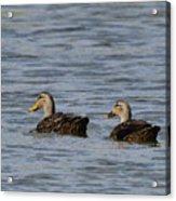 Mottled Ducks Acrylic Print