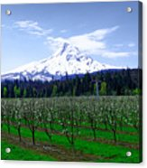 Mount Hood Behind Orchard Blossoms Acrylic Print