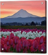 Mount Hood Sunrise With Tulips Acrylic Print