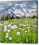 Mount Rainier And A Meadow Of Aster Acrylic Print