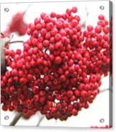 Mountain Ash Berries Acrylic Print