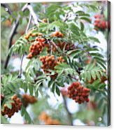 Mountain Ash Berries Acrylic Print