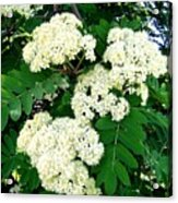 Mountain Ash Blossoms Acrylic Print