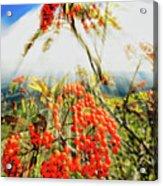 Mountain Ash Sunshine Acrylic Print
