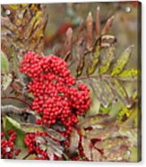Mountain Ash With Berries Acrylic Print