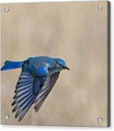 Mountain Bluebird Male In Flight Acrylic Print