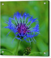 Mountain Cornflower Acrylic Print by Byron Varvarigos