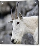 Mountain Goat At Rest Acrylic Print