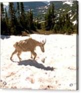 Mountain Goat Crossing A Snow Patch Acrylic Print