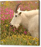 Mountain Goat In Colorful Field Of Flowers Acrylic Print