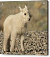 Mountain Goat Kid Acrylic Print