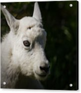 Mountain Goat Kid Portrait Acrylic Print