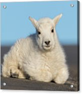 Mountain Goat Kid Relaxes In The Road Acrylic Print