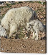 Mountain Goat Kid Stretches By Mom Acrylic Print