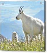 Mountain Goat Momma And Kid Acrylic Print