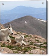 Mountain Goat Mother And Kid In Mountain Home Acrylic Print
