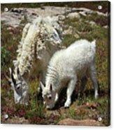 Mountain Goat Nanny And Kid Foraging At Columbine Lake - Weminuche Wilderness - Colorado Acrylic Print