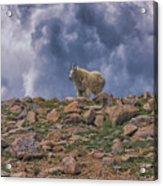 Mountain Goat Overlook Acrylic Print