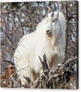 Mountain Goat Pride Acrylic Print