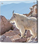 Mountain Goat Takes In Its High Altitude Home Acrylic Print