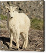 Mountain Goat Yearling Acrylic Print