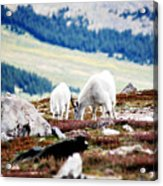 Mountain Goats 2 Acrylic Print