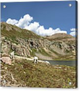 Mountain Goats At Columbine Lake - Weminuche Wilderness - Colorado Acrylic Print