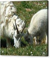 Mountain Goats Acrylic Print