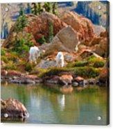 Mountain Goats In Early Fall Acrylic Print