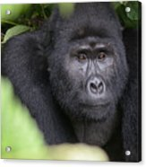 Mountain Gorilla Acrylic Print