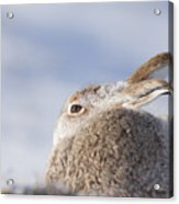 Mountain Hare - Scottish Highlands  #10 Acrylic Print