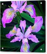 Mountain Iris In Flower California Acrylic Print
