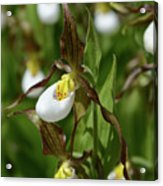 Mountain Lady Slippers Up Close Acrylic Print