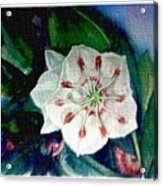 Mountain Laurel Blossom Closeup Acrylic Print